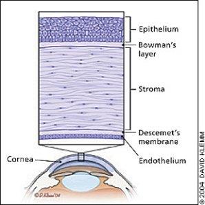 anatomi cornea