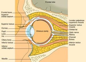 Anatomi mata potongan sagital